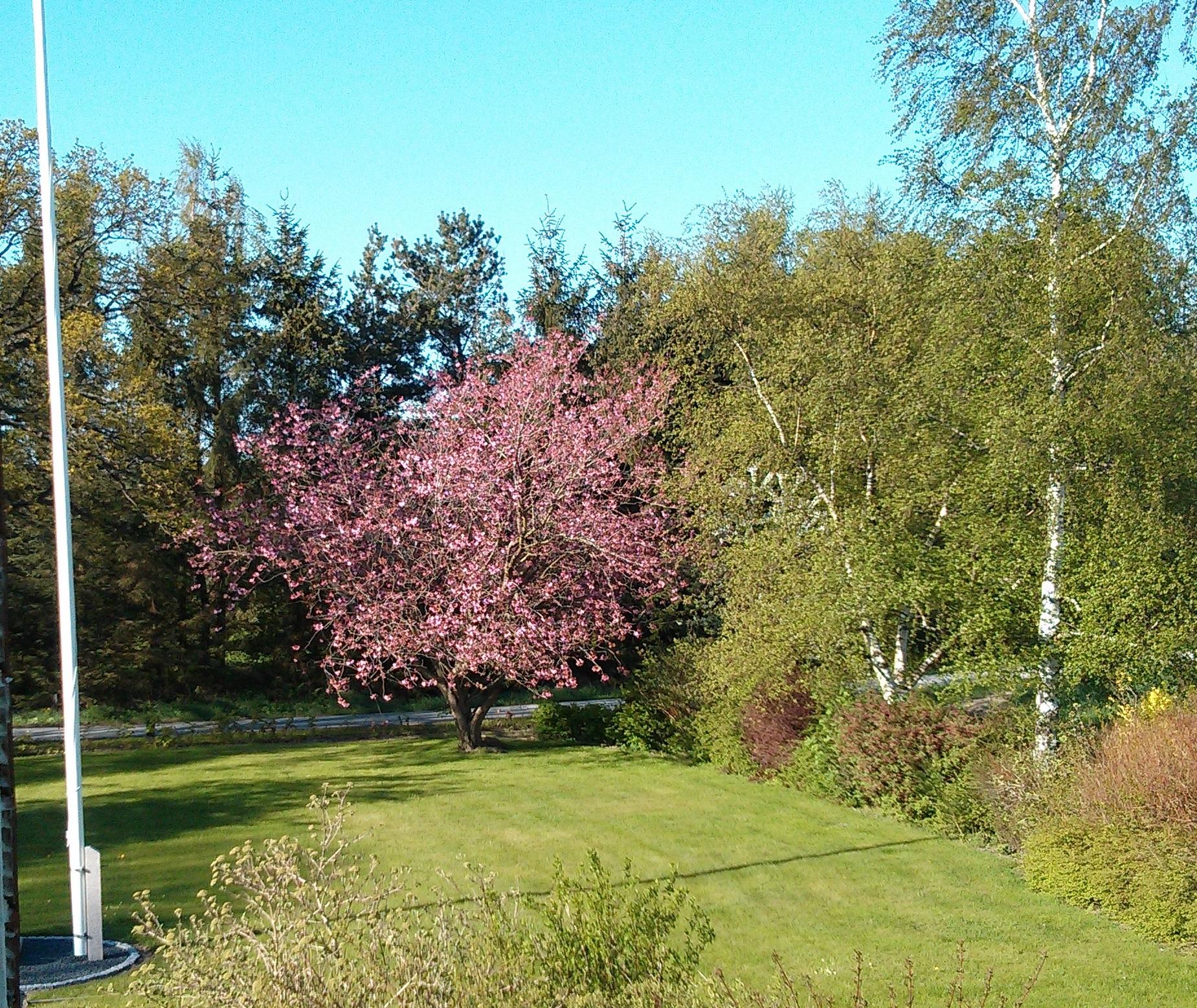 kirsebærtræet2013
