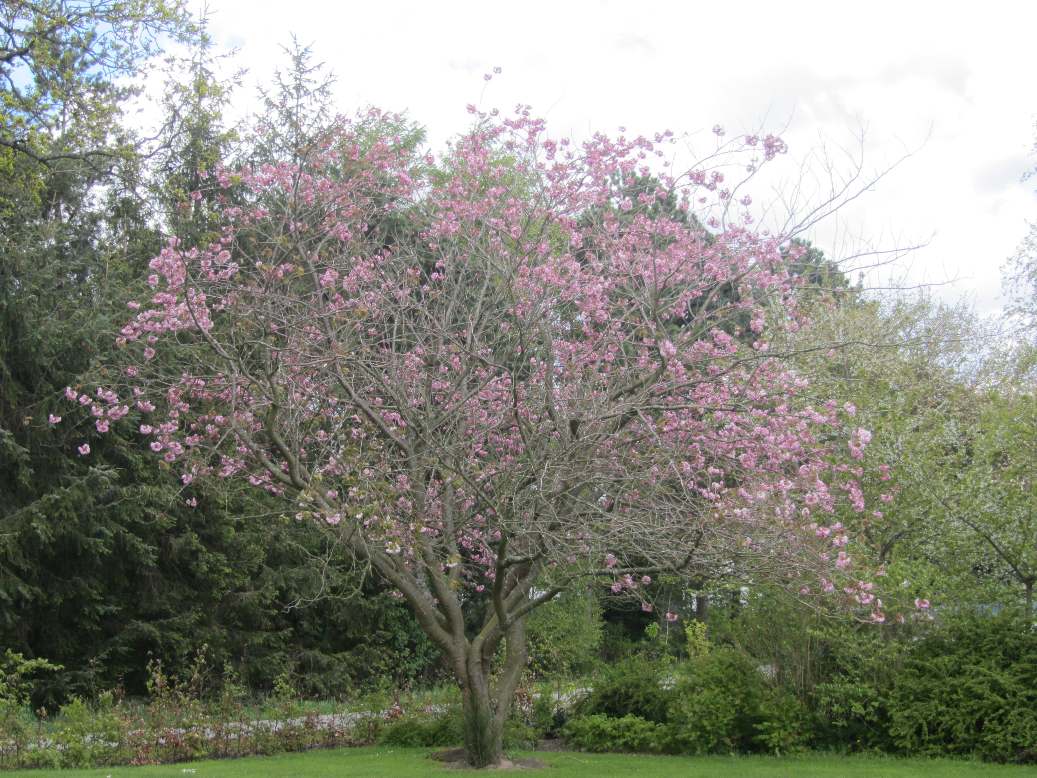 Kirsebærtræet i 2015 - stærkt hæmmet