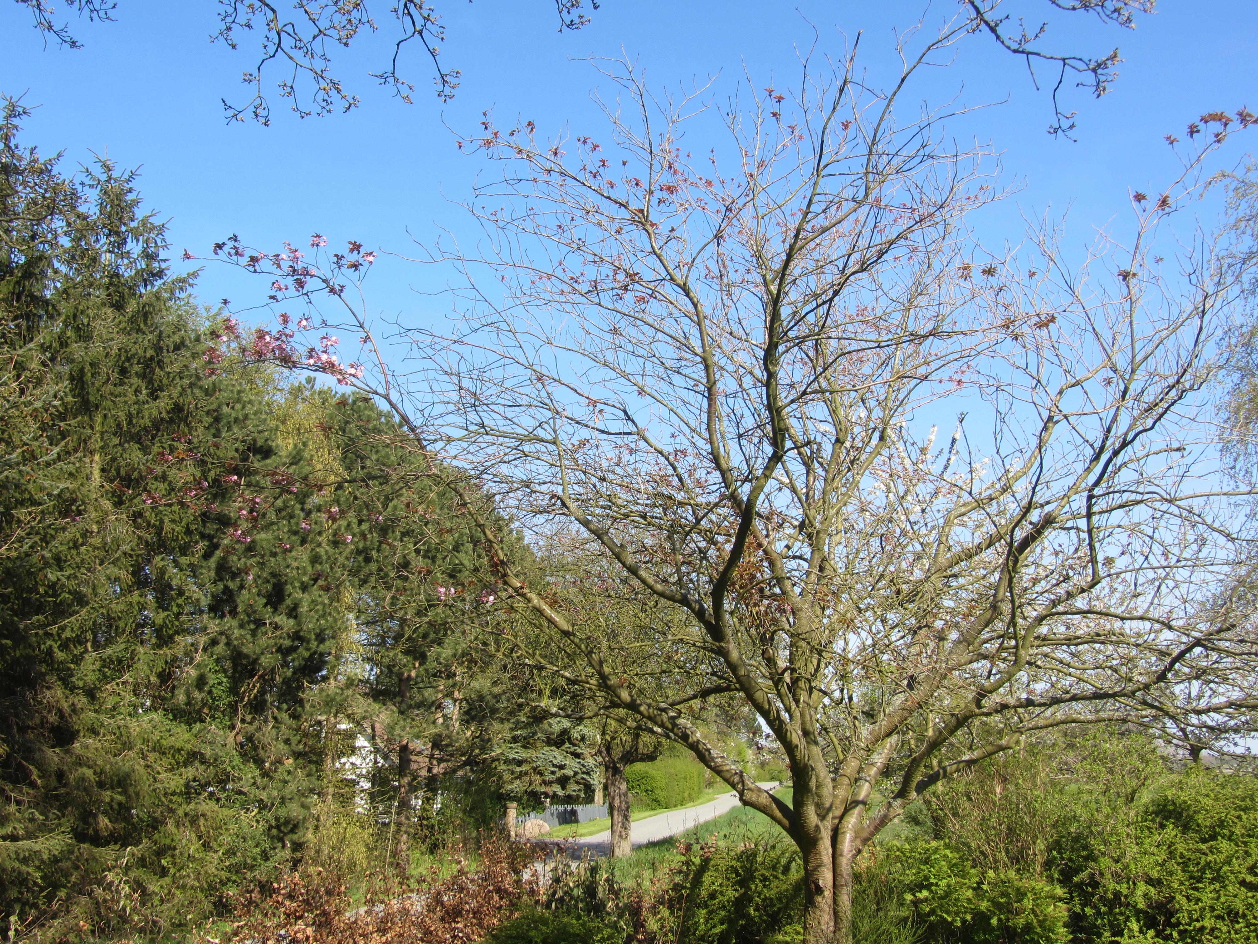 Den sidste blomstrende gren på kirsebærtræet